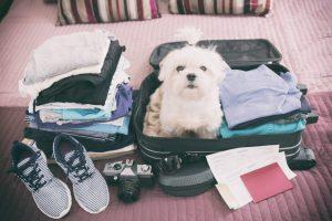 Regras para viajar com cachorro: Quando o seu cachorro está pronto para viajar com você!