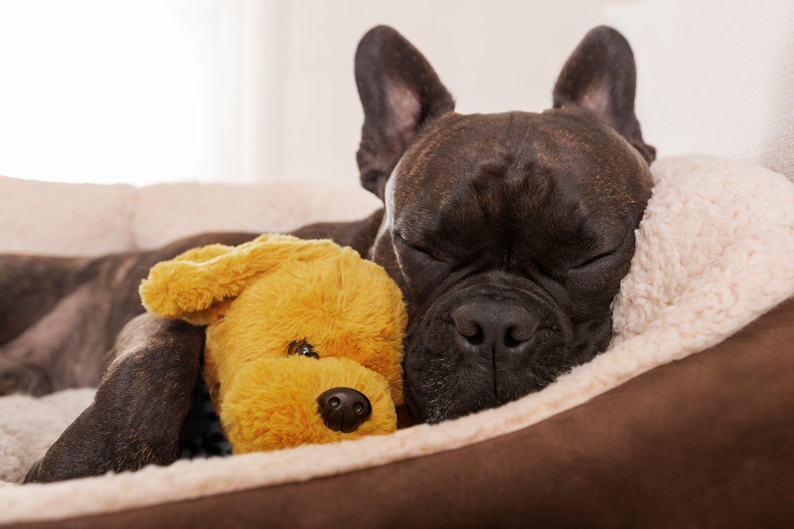 Regras para viajar com cachorro: Buldogue francês dormindo em sua cama quentinha e seu ursinho de estimação.