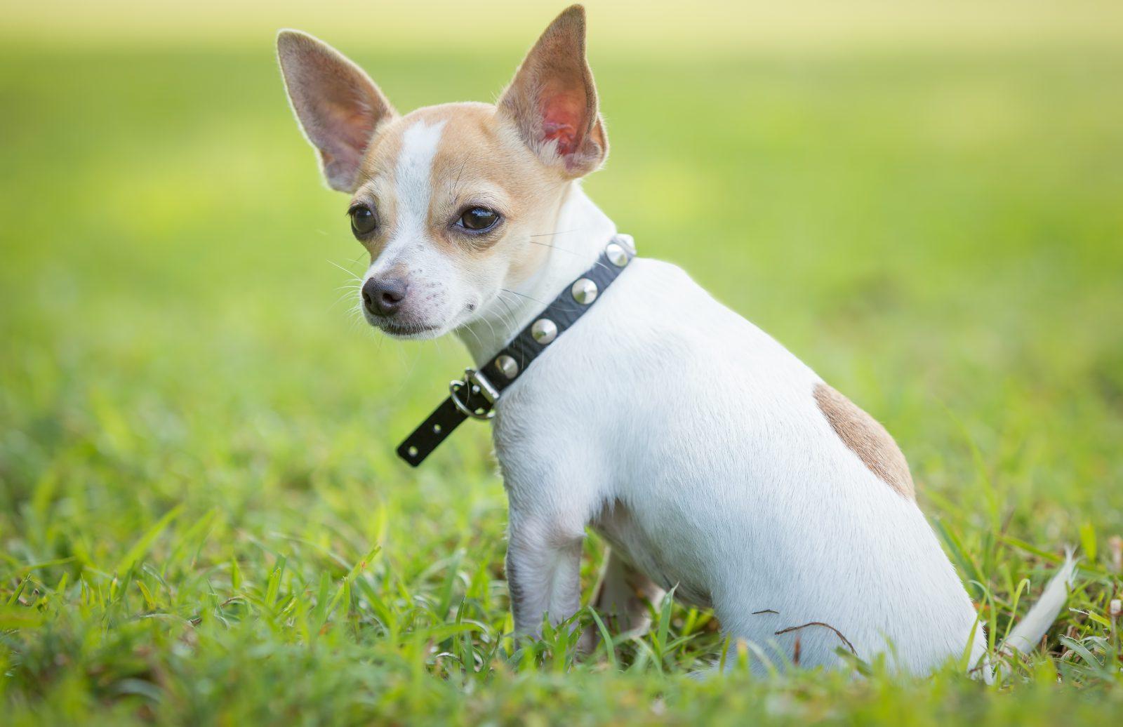 Regras para viajar com cachorro: Chihuahua de coleira