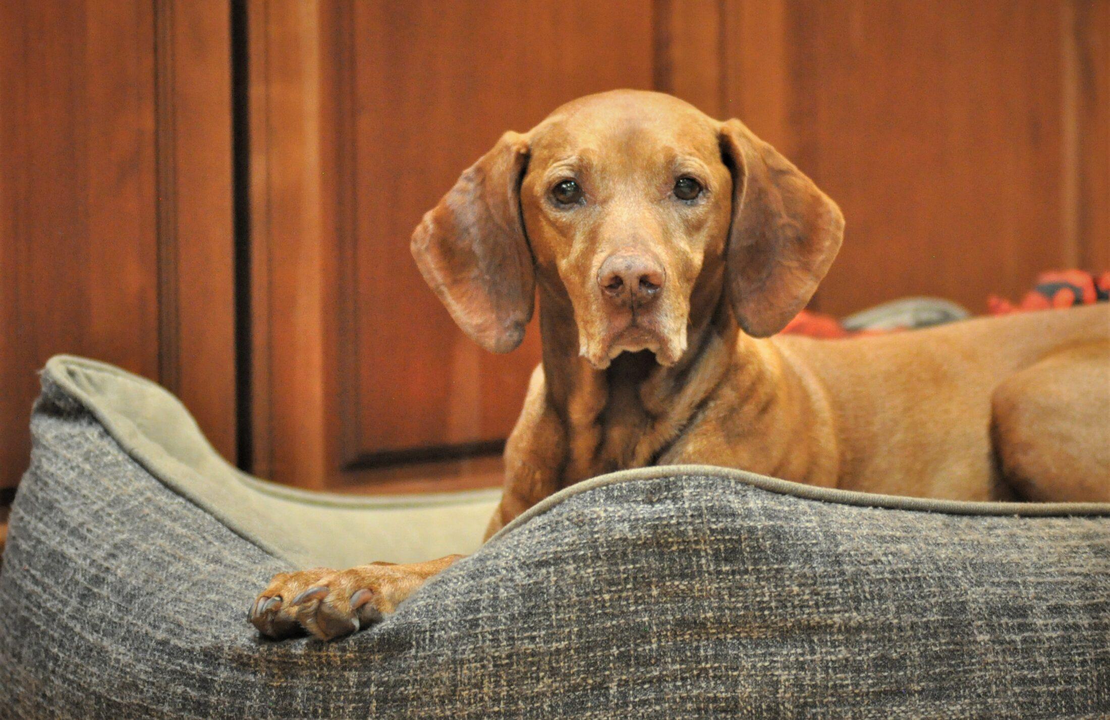 cachorro porte médio: viszla