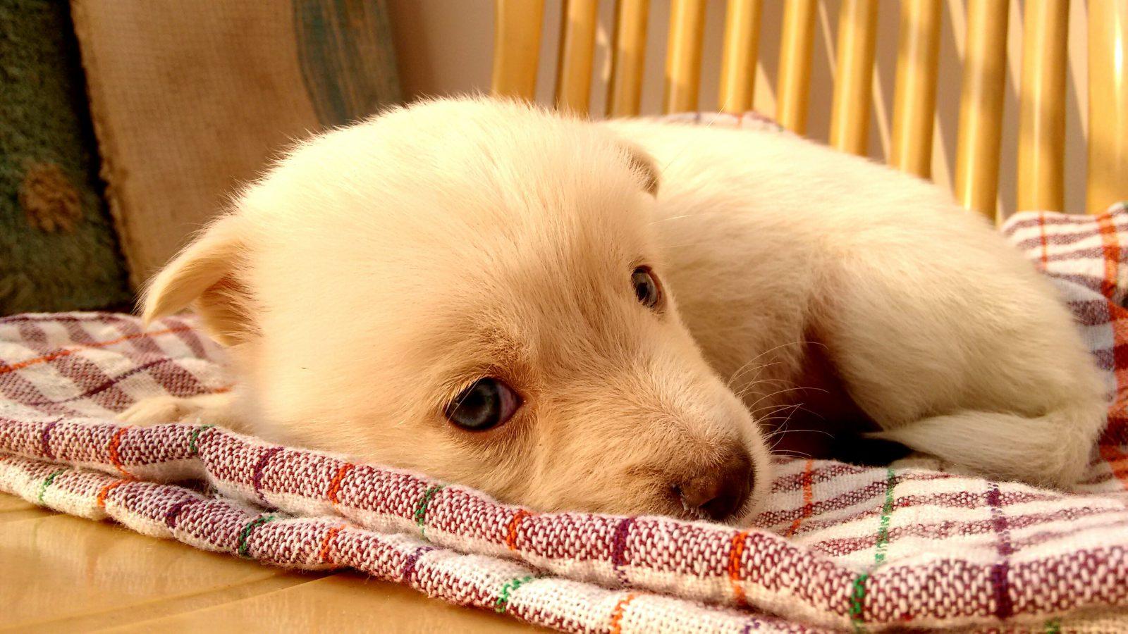 Vitamina para cachorro: filhote de cachorro deitado com a cabeça sobre a mesa parecendo fraquinho.