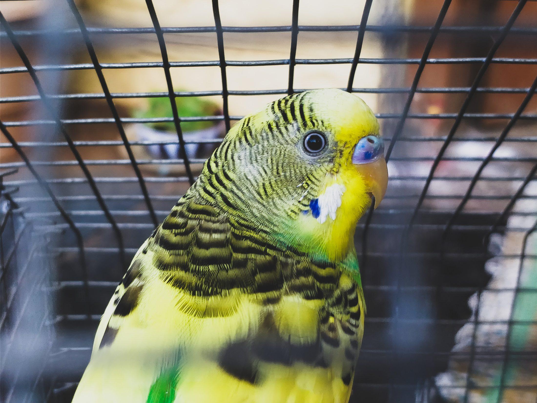 pássaro em veveiro para papagaio