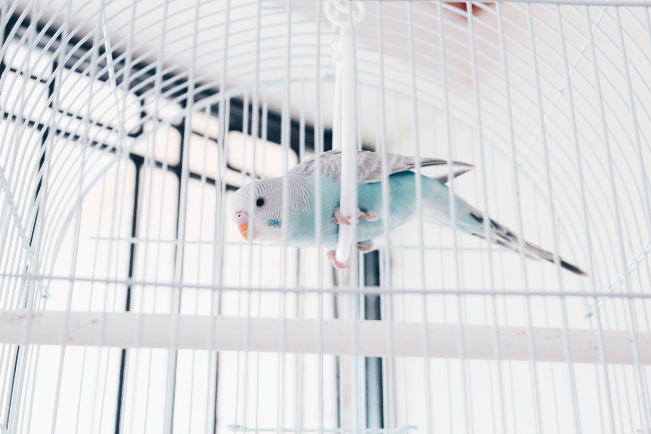 periquito azul e banco em viveiro para papagaio