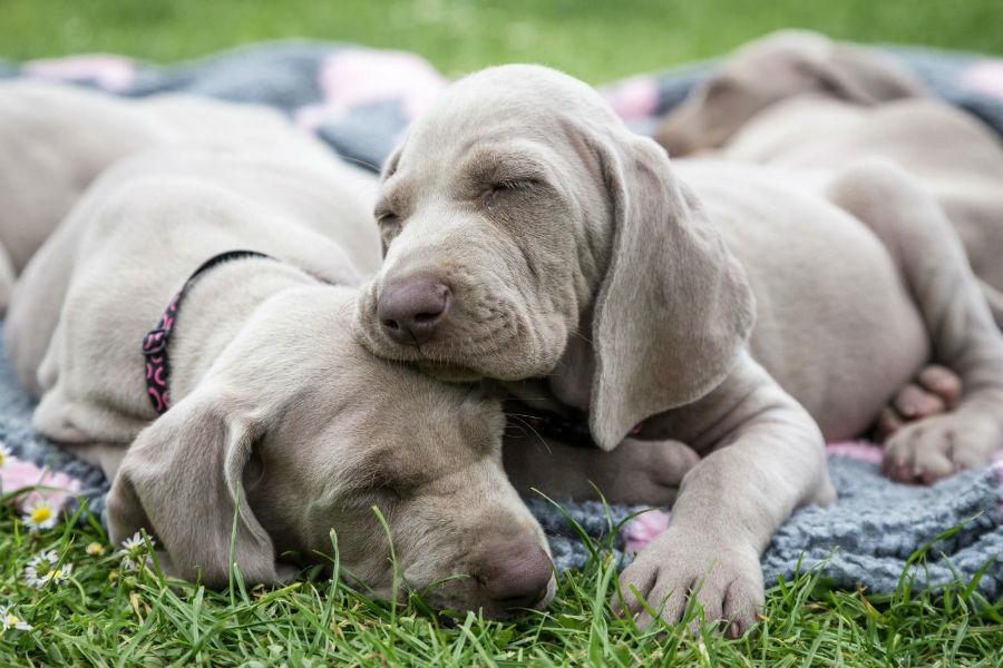 cachorro-weimaraner-ambiente