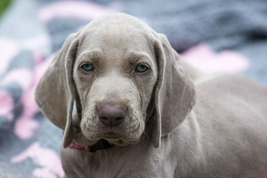 cachorro-weimaraner-aparencia