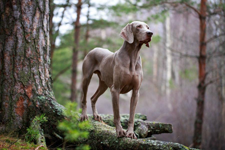 cachorro-weimaraner-origem