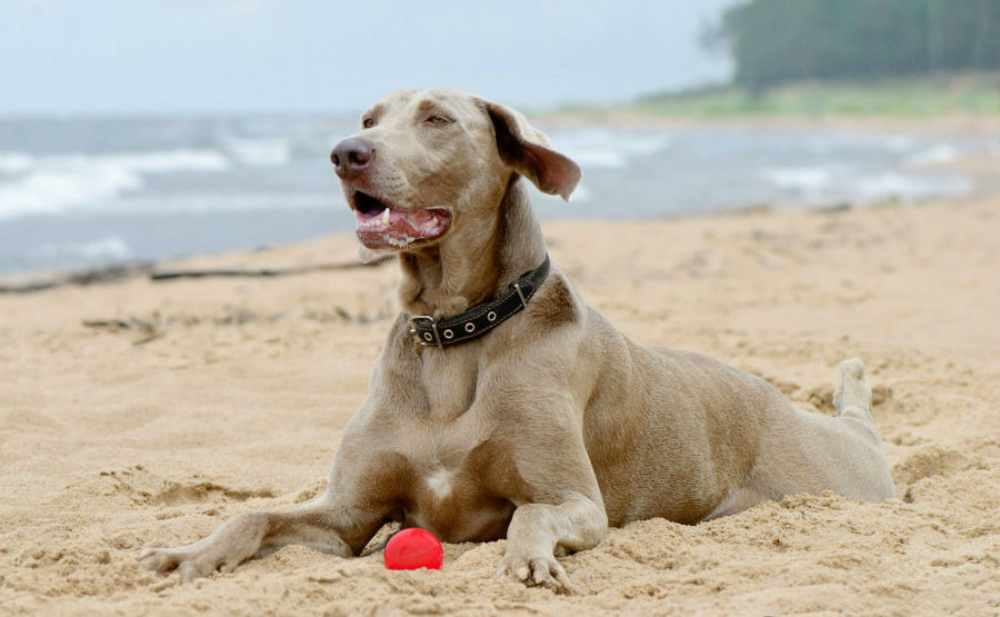 cachorro-weimaraner-treinamento