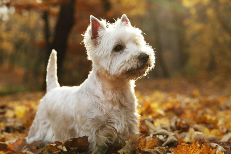 Cachorro pequeno: West Highland White Terrier em um dia de outono