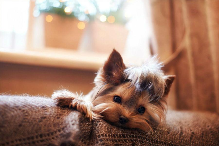 Yorkieshire terrier deitado no sofá.