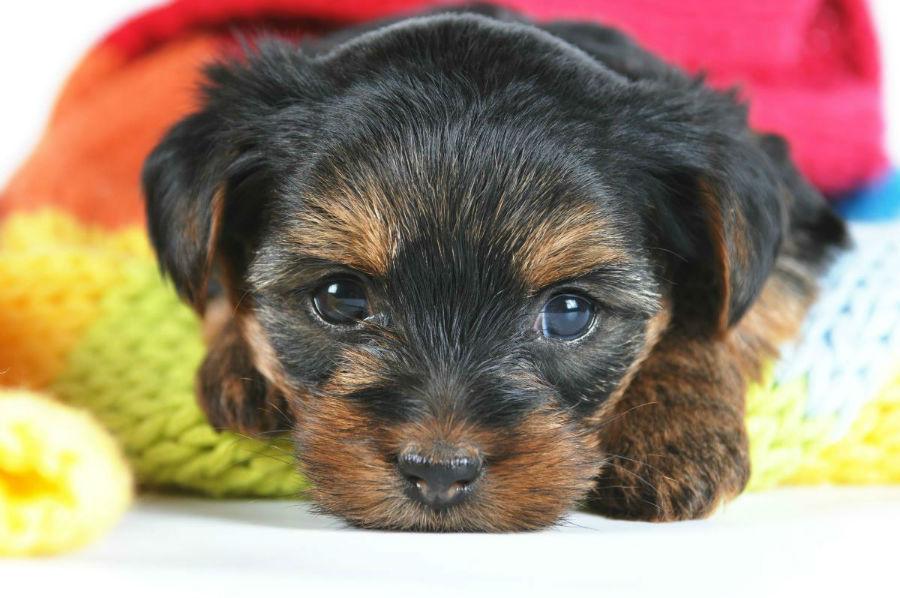 cachorros-yorkshire-cuidados