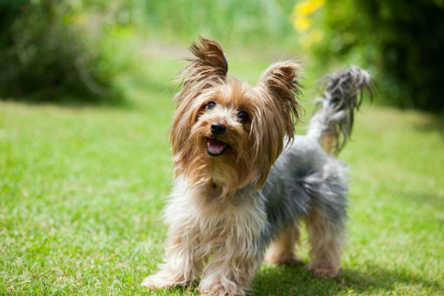 cachorro-yorkshire-saude