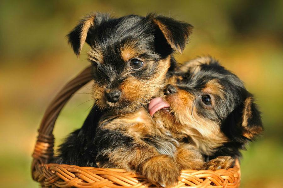 cachorro-yorkshire-temperamento