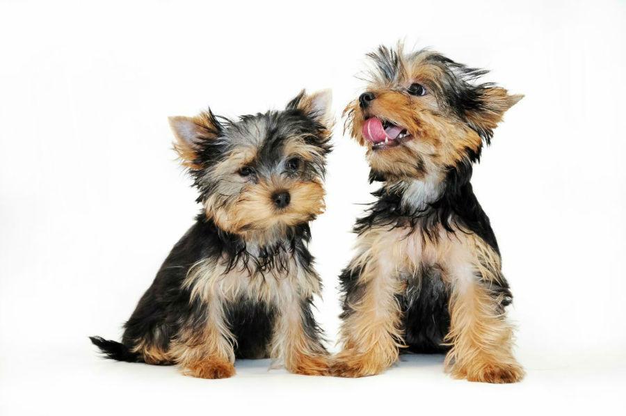 cachorro-yorkshire-treinamento