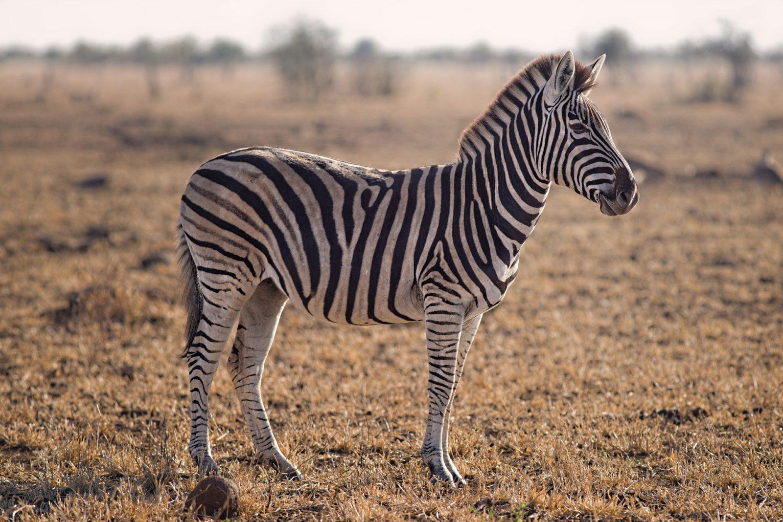A zebra procria nas estações chuvosas.