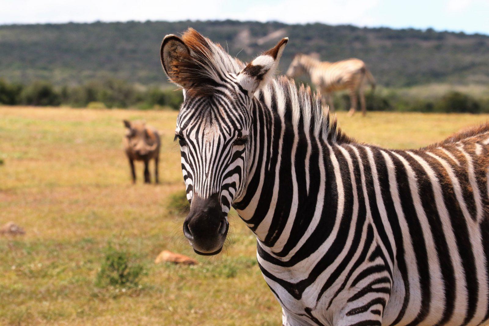 A zebra é de origem africana.