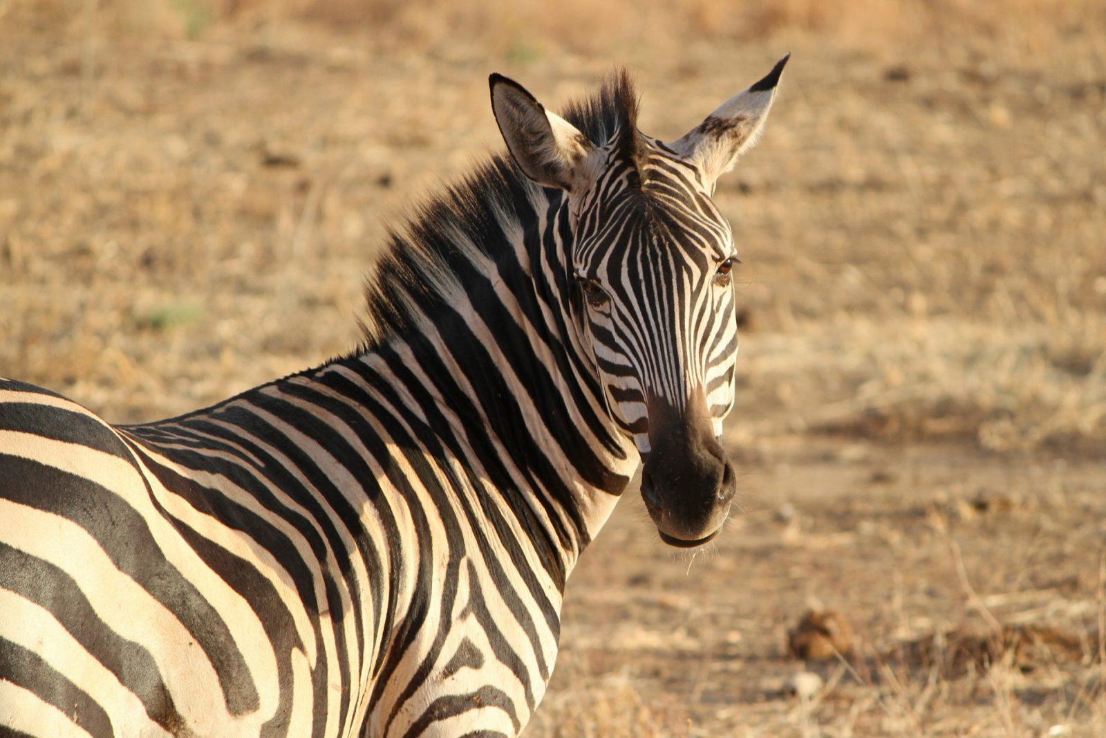 São muitas espécies de zebra que existem.